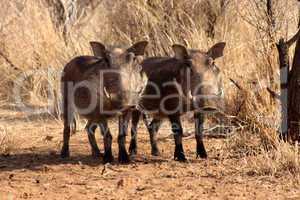 Alert Warthogs Standing Under Bushveld Trees
