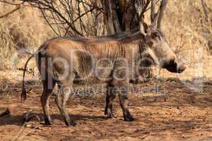 Warthog Male Basking