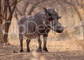 Large Alert Warthog Male
