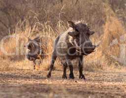 Alert Warthogs Walking Through Bushveld Grass