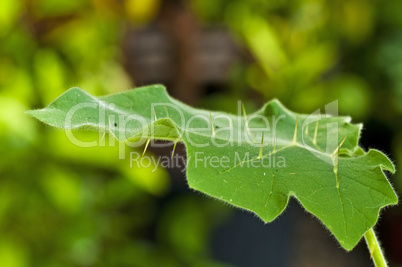 Ayurveda Heilpflanze Kantikari
