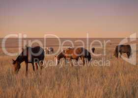 Herd of horses grazing in evening pasture