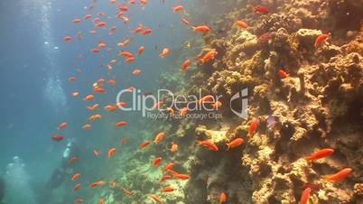 stonefish, underwater, fish, coral, reef, animal, colorful, red, sea, depth,  swim,  scuba, water, deep, wild, nature, scene, ocean, vibrant, egypt, blue