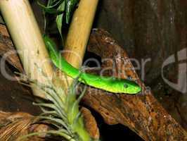 Southern Africa Green Mamba