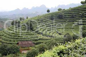 Hills and tea
