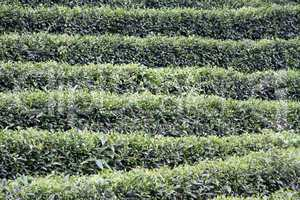 Bushes on the tea plantation