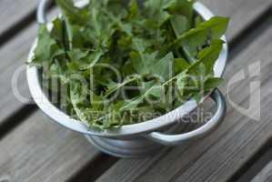 dandelion leaves in metal colander