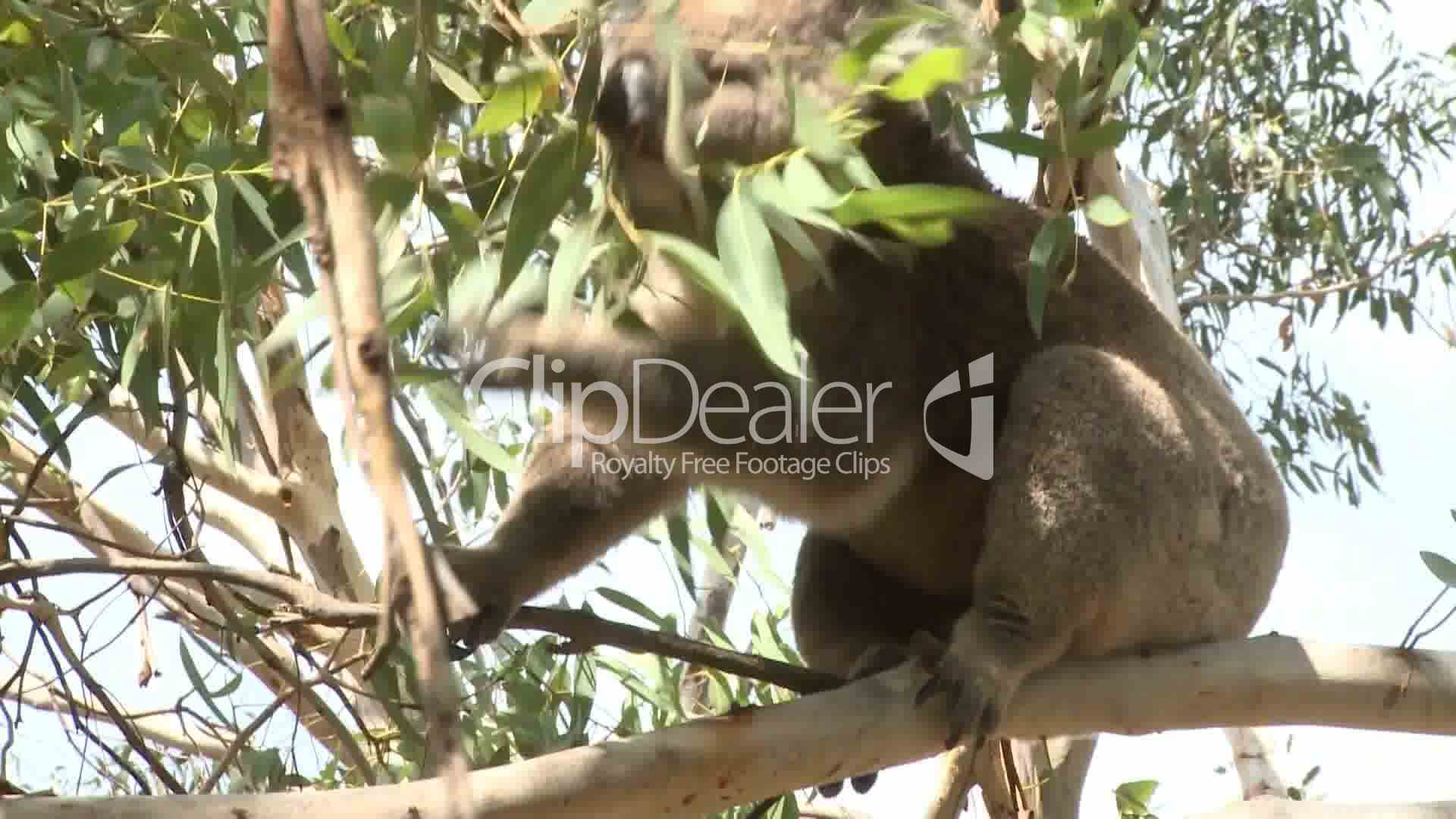 an introduction to koalas a flexible australian animal The university of canberra is proudly the university of australia's capital  understanding koalas uc researchers help crack their genetic code.