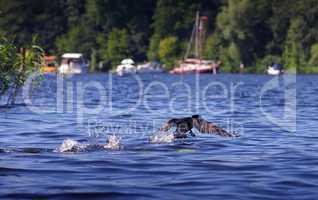 Kormoran bei Abflug auf dem Wasser