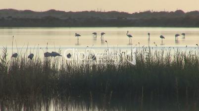 Flock of flamingos at dawn