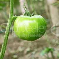 Big green unripe tomato