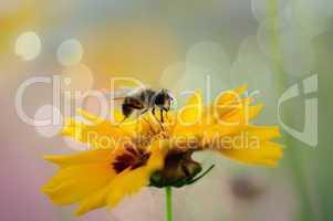 honey bee on sweet yellow beautiful cosmo