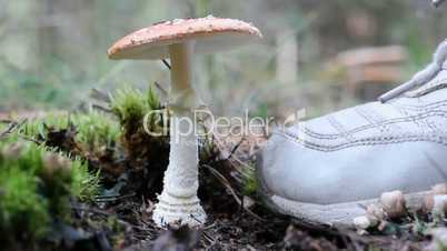 Amanita mushroom, do not cut, and kicking leg.
