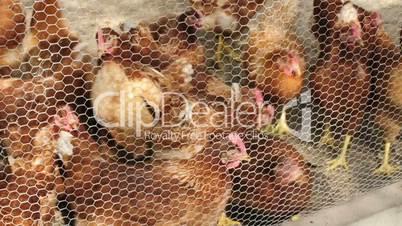 Hennen im Stall