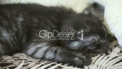 Sleeping kitten.