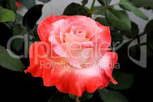 Beautiful Orange and Pink Rose