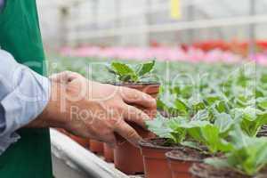 Greenhouse worker handling seedlings