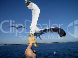 seagull feeding - very friendly seagull takes cooky from man s hand