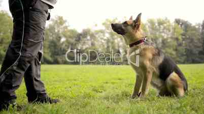 Dog trainer feeding pet and doing exercise with German Shepherd