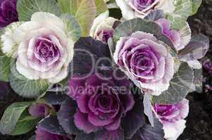 Decorative cabbage, Brassica oleracea var. acephala, in Japan