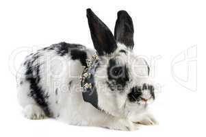 dwarf Rabbit with collar