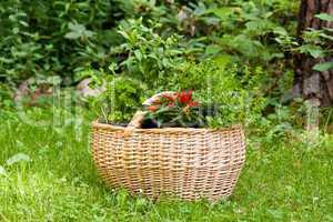 Korb mit Kräutern, Basket with herbs
