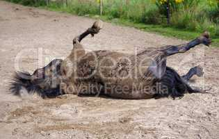 Pferd wälzt sich im Sand auf dem Rücken liegend