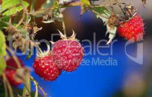 Himbeere im Blütenstand reif zum Essen
