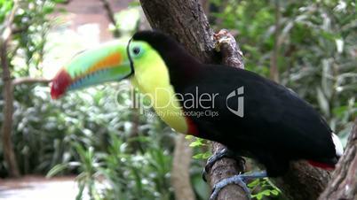 costaricanischer tukan