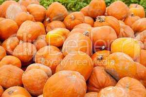 Frischer orangener Kürbis auf dem Feld im freien