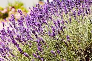Lavendel Blüten an der Pflanze auf einem Feld im Sommer