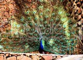 Peacock Plumage Display HD Effect