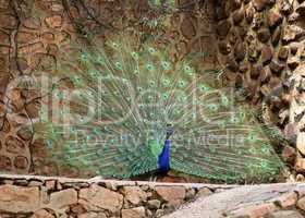 Peacock Plumage Display