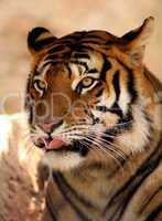 Tiger Licking Lips