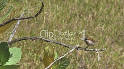 Sparrow on tree Cape Verdi