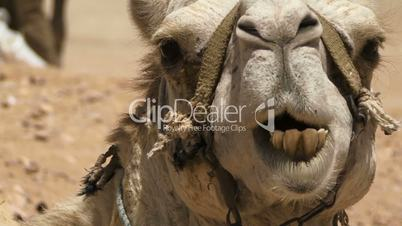 Camel chewing close up