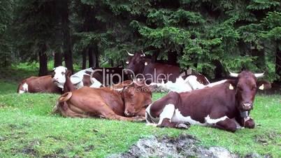 Kühe im Wald