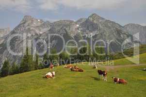 Kühe bei Werfenweng