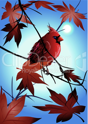 the  northern cardinal  on a maple branch early in the morning