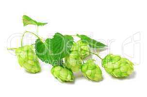 Blossoming hop on white background