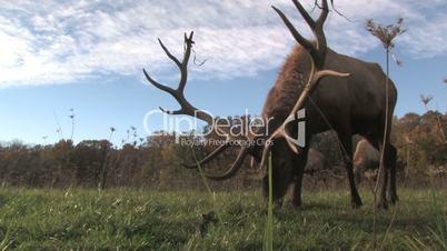 Elk Grazing, Low Angle 2