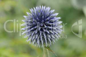 Blüte einer Zierdistel