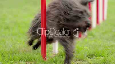 Dog agility with pet doing slalom between hurdles