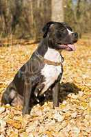 Portrait of the american staffordshire terrier against foliage