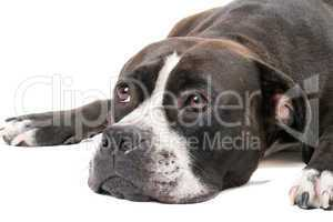 Portrait of the american staffordshire terrier. Isolated on whit
