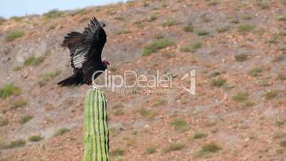 Turkey Vulture Sitting on a Cactus Stretching