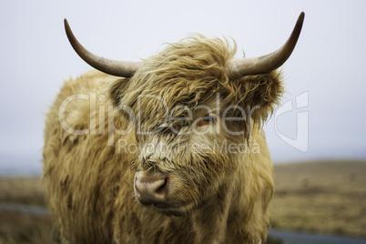 Head of a Highland cow