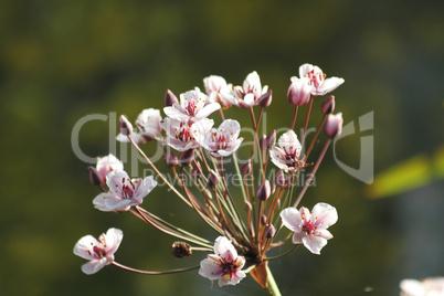Schwanenblume (Butomus umbellatus) /  Flowering rush