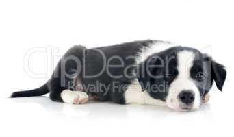 wink of puppy border collie