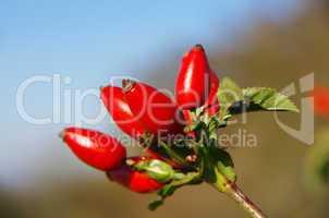 hagebutte dog rose